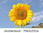 Yellow Sunflower Background...