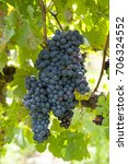 red grapes | Shutterstock . vector #706324552