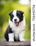 Stock photo adorable cute black and white border collie puppy from kennel face sitting and yawning 706440706