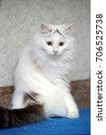 Stock photo turkish van cat 706525738