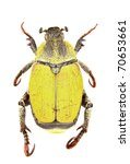 Small photo of Male of Hoplia bilineata isolated on white background