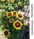 Small photo of Coreopsis hybrida 'UpTick Yellow & Red', Tickseed, mound forming garden annual with linear lanceolate green leaves and daisy like flower heads on long stalks, yellow rays with red base, orange disc
