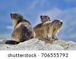 Alpine Marmot Family