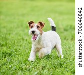 wire fox terrier dog enjoying... | Shutterstock . vector #706646842