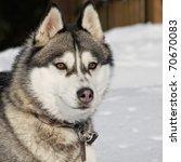 portrait of a beautiful husky... | Shutterstock . vector #70670083
