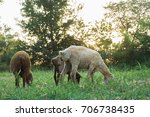 the sheep are grazing in the... | Shutterstock . vector #706738435