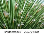 spiky green plant with white... | Shutterstock . vector #706794535