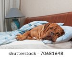 Dog Of Dogue De Bordeaux Breed...