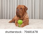 Dog Of Dogue De Bordeaux Breed...