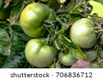 close up of unripe green... | Shutterstock . vector #706836712