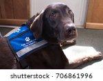 eager chocolate labrador... | Shutterstock . vector #706861996