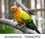 Sun Parakeet Or Sun Conure...