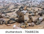 The Male Alpha In Colony Seals...