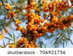 ripe sea buckthorn berries on a ...   Shutterstock . vector #706921756