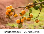 Persimmons On Persimmon Tree...
