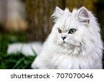 chinchilla persian cat | Shutterstock . vector #707070046