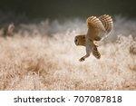 barn owl  tyto alba flying in... | Shutterstock . vector #707087818