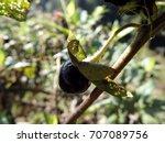 deadly nightshade  belladonna... | Shutterstock . vector #707089756