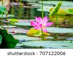 sacred lotus with large pink... | Shutterstock . vector #707122006