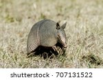 Nine Banded Armadillo With...