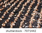 spring bulbs ready for planting   Shutterstock . vector #7071442