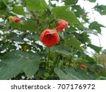Small photo of abutilon pictum flowers