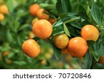 Close Up View Of Kumquat ...
