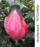 Small photo of Flowering Maple, Abutilon, plant with variegated leaves.
