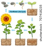 Life Cycle Of Sunflower Plant...