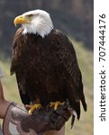 Small photo of White Headed Eagle