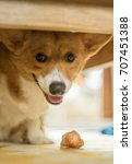 welsh corgi enjoys meal | Shutterstock . vector #707451388