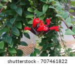 Small photo of The flowers of lipstick plant (Aeschynanthus parvifolius) are bright red and tubular surrounded at the base by a dark, red, tubular calyx. They are vertically oriented and arranged in small clusters.