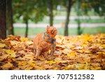 british shorthair red cat in... | Shutterstock . vector #707512582