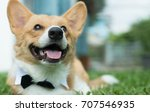 Stock photo dog tuxedo collar 707546935