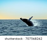massive humpback whale leaping... | Shutterstock . vector #707568262