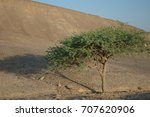 Acacia Tree In Desert Wadi