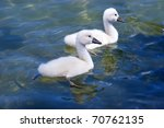 Sweet Baby Swans Swim In The...