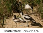 Small photo of Pied avocets on a close up horizontal picture. Rare marsh bird species occurring in Europe in their natural habitat.