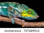 a panther chameleon on black... | Shutterstock . vector #707689012