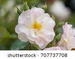 beautiful white rose isolated... | Shutterstock . vector #707737708