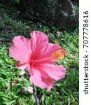hibiscus rosa sinensis  chinese ... | Shutterstock . vector #707778616