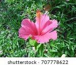 hibiscus rosa sinensis  chinese ... | Shutterstock . vector #707778622