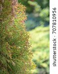 Small photo of Close up of american arborvitae (cypress tree)