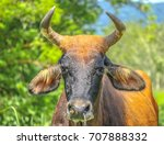 close up bull face in the meadow