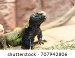 Small photo of Uromastyx, a genus of African and Asian agamid lizards, commonly called spiny-tailed lizards, uromastyces, mastigures, or dabb lizards