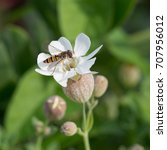 Small photo of close up detail macro of a fly, Episyrphus Blteatus from the Syrphidae insect family, or Hoverfly, flower or Syrphid fly, feeding from pollen nectar in white Sea Campion, Silene Uniflora, flower