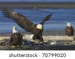 Alaskan Bald Eagle Landing On...