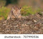 single siberian lynx kitten ...   Shutterstock . vector #707990536