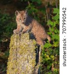 single siberian lynx kitten ...   Shutterstock . vector #707990542