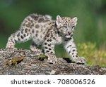 Single Snow Leopard Cub...
